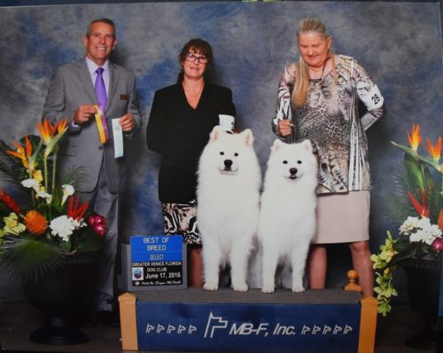 GCH Rhapsody's Seaside Cat5 Hurricane Best of Breed with Sister Select for Sandi CH Seaside's Dancing in the Sand with Rhapsody June 2016 Greater Venice FL Dog Club Show!